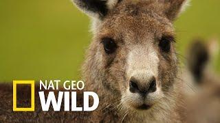 Miejska dżungla - Wymarzony świat kangurów