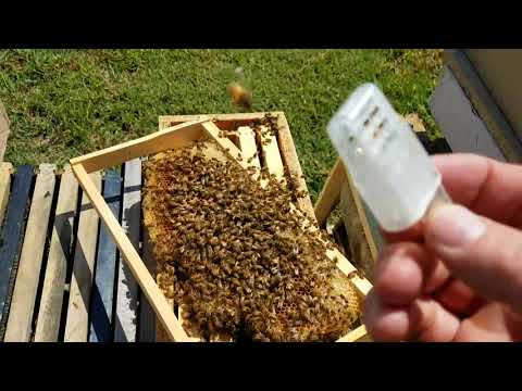 how-the-bees-act-when-they-reject-the-queen-new-beekeepers-don't-miss-this