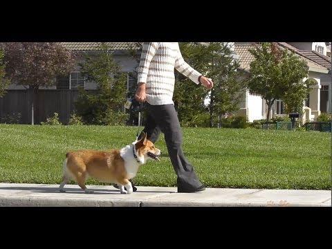 Tips on Canine Walking Safety hqdefault