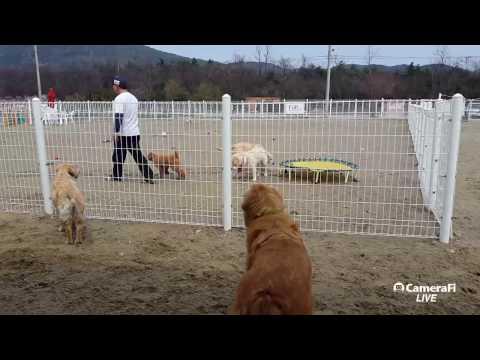 [DOG TV LIVE] 포메라이언 제리, 스탠다들 푸들 슈슈 #설악펍하우스 170409 #dog