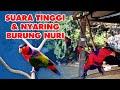 Bikin Merinding Suara Tinggi Nyaring Burung Nuri Kepala Hitam Khas Papua  Mp3 - Mp4 Download