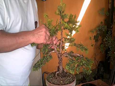 Remodelado Tejo - Taxus baccata