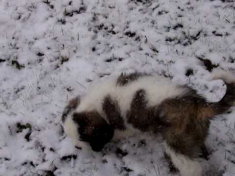 Saint Bernard Enjoying the First Snowfall of the Y...