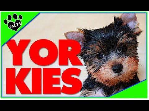 10 Yorkshire Terrier Best Toy Breed Ever Facts Dogs 101 - Animal Facts