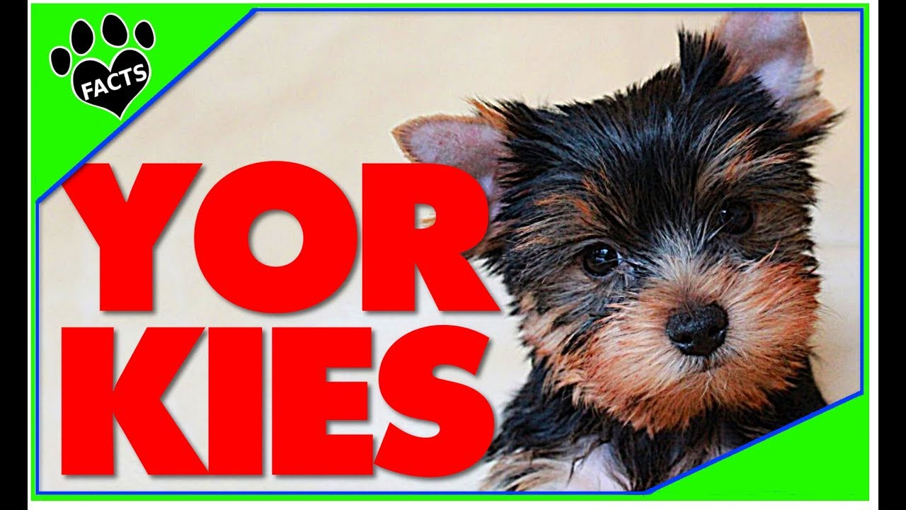 Dogs 101 Yorkshire Terrier Best Toy Breed Ever Facts Animal Facts