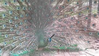 Beutiful!!! Bulu Burung Merak Sangat Indah-peacock-feather-are very beautiful