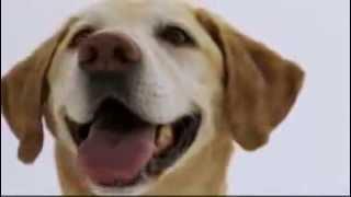 Dogs 101 - Labrador Retriever
