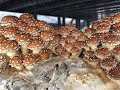 This Is What Happens When We Grow 90 lbs Of Mushrooms A Day
