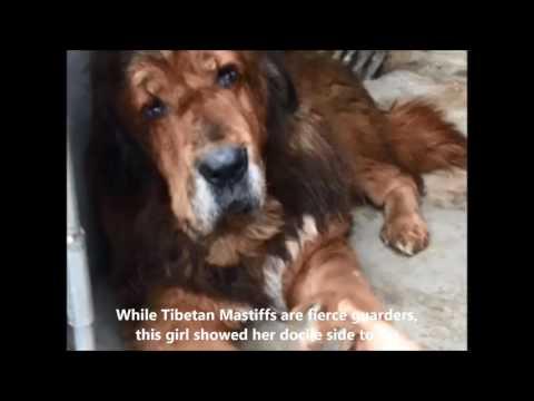 Starving Tibetan Mastiff Rescued