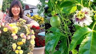 Vườn chanh dây, cách thụ phấn cho hoa đậu nhiều trái ( Người Việt ở Mỹ )