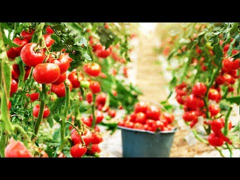 Amazing Greenhouse Tomatoes Farming - Greenhouse Modern Agriculture Technology