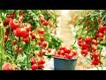 Amazing Greenhouse Tomatoes Farming - Modern Agriculture Technology