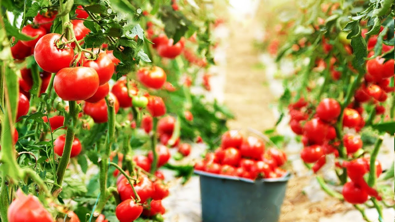 Amazing Greenhouse Tomatoes Farming - Greenhouse Modern ...