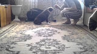 Дрессировка щенка английского бульдога
