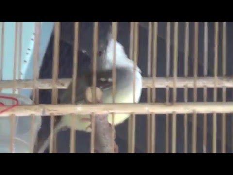Ciblek Kebun Ngebrem (Burung Master Series)