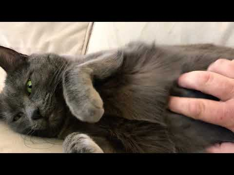 Heart warming belly rub for my Russian Blue cat.