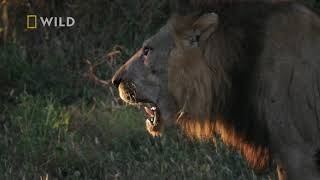 Król lew musiał odejść by chronić swoje dziedzictwo! [Królestwo drapieżników]