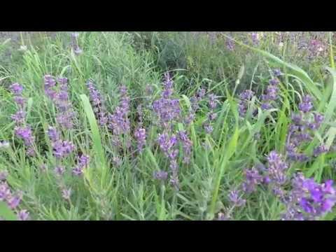 Лаванда – Полезные свойства – Рецепты – Способы применения - Лечебные травы