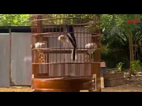 burung-kacer-gacor-tapi-jago-kandang-/copsychus-saularis