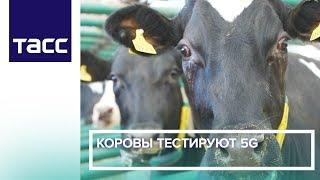 Коровы тестируют 5G