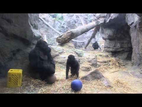 Western Lowland Gorilla- April 2015 Franklin Park Zoo