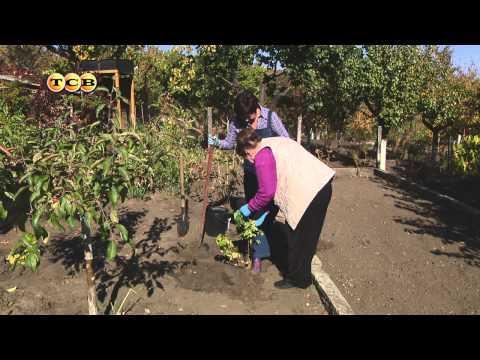 Когда и как посадить смородину - 6 соток