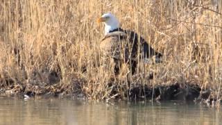 Bald Eagle @ Ottawa National Wildlife Refuge 2/25/2013