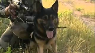 Video Chiens de guerre (Guerre / Armée) [N°50] download MP3, 3GP, MP4, WEBM, AVI, FLV Desember 2017
