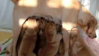 英国ラブラドールの母犬コーラルは、生後40日になった9頭の子犬を育てて...