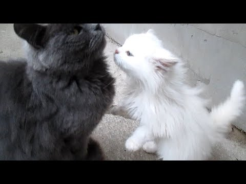 Cute funny cats - Kittens meowing (too much cuteness)