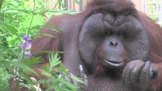 アイスを食べるオランウータン~ Orangutan is eating ice