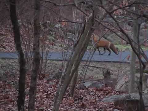 Video: Reports Of Fox Sightings On Rise In Area