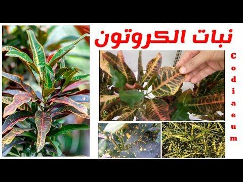 نبات كروتون نصائح لتجنب اصفرار الاوراق و تساقطها العنايه و الاكثار Codiaeum Youtube