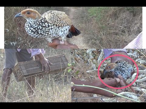 How to Catch Partridge bird, Village guy catching partridge bird, Kouju pitta
