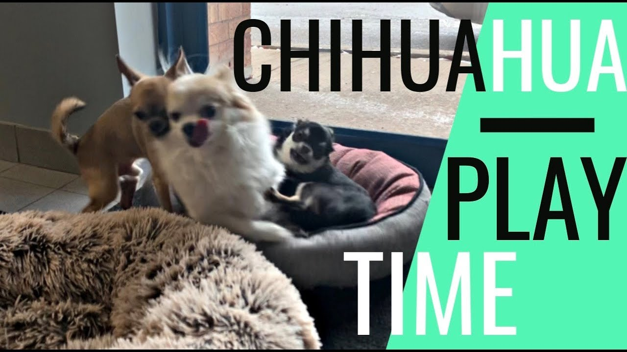 Chihuahua Play Time | Bring Your Dogs to Work This Happens