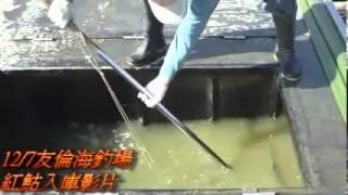 12月7日友倫海釣場紅鮕入庫影片