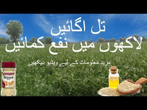 Til ki kasht in Pakistan | Sesame Seeds oil Production Crop | Sesame farming