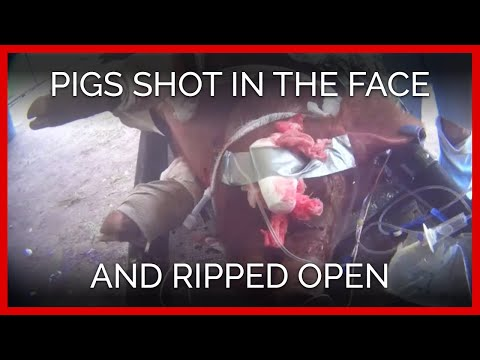 Pigs Shot in the Face and Ripped Open