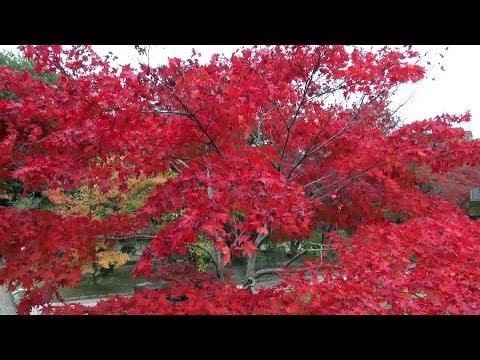 京都・山科 紅葉 勧修寺 Kajū-ji Temple in autumn, Kyoto(2013-11)
