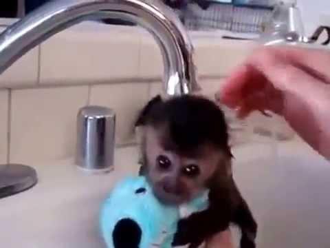 милая обезьянка купается