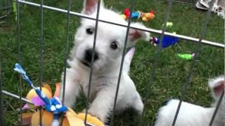 Joanne's Westie Puppies