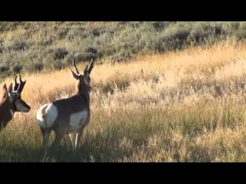 Great Shot On A Giant Wyoming Pronghorn