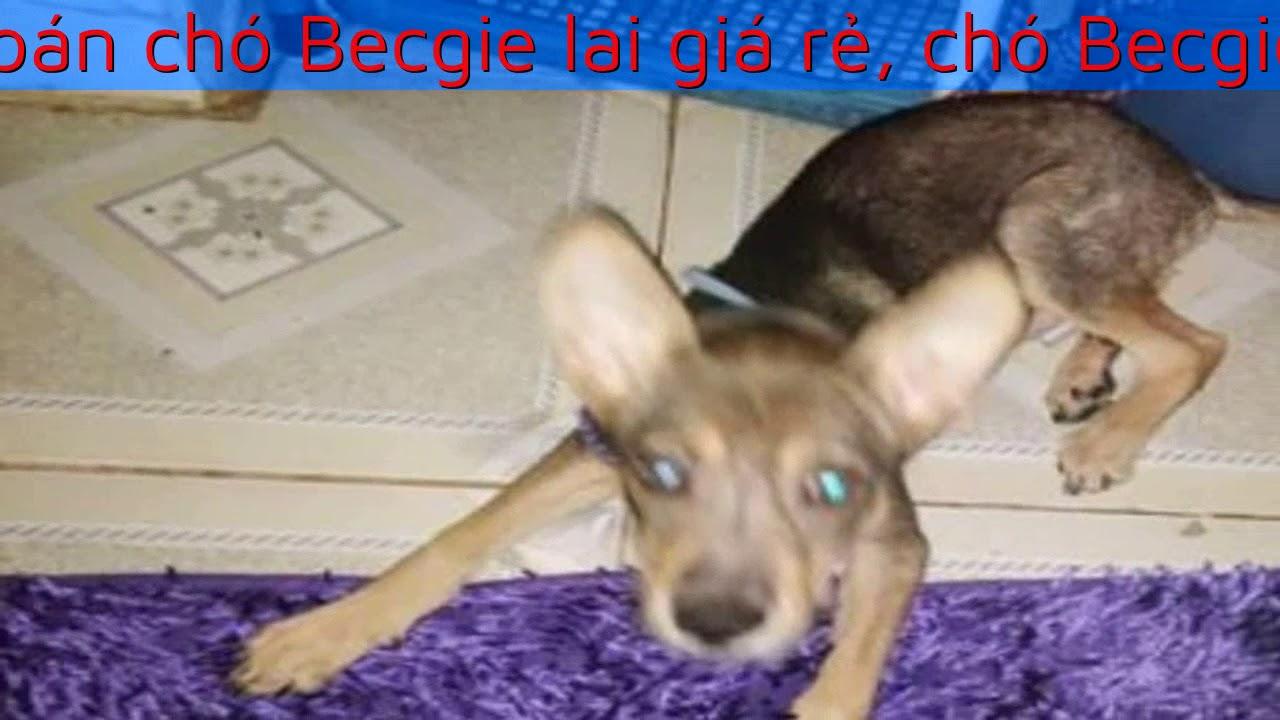Cần bán chó Becgie lai giá rẻ, chó Becgie hỏe mạnh không tật lỗi
