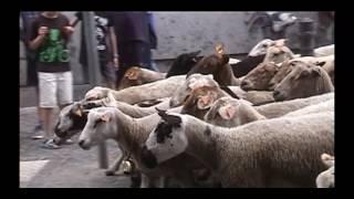 moutons à Liége