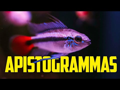 Beginner's Guide To Apistogramma Cichlids - Colorful Centerpiece Fish For Nano Tanks