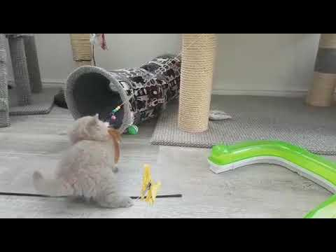 Cute Kittens Playing. That toy is mine 🐱🦁