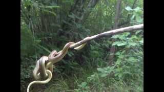 Coluber flaviventris nel Parco delle Fontane Bianche (TV)