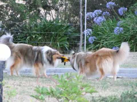 Rough Collies playing