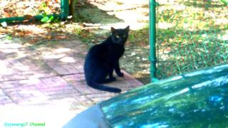 BLACK CAT with Green Eyes stops by