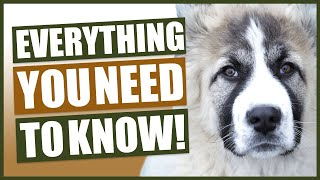 CAUCASIAN SHEPHERD 101! Everything You Need To Know About The CAUCASIAN SHEPHERD!